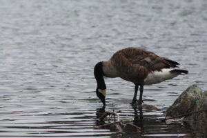 A goose stands on the shore of Dean Park Pond.