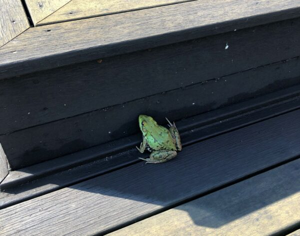 frog searching for shade photo by Fran Delage