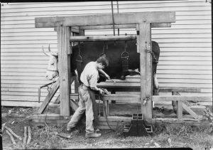 A boy works on the farm of the Lyman School for Boys.