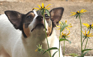 Violet the dog stops to smell the flowers.