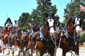 An eight-horse Clydesdale hitch travels along Main Street. Photos/Ed Karvoski Jr.