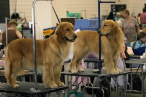 Two golden retrievers in the grooming area at last year's show