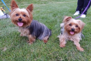 "Sibling Yorkshire Terriers ""Chase"" and ""Amber"" enjoy the evening festivities."