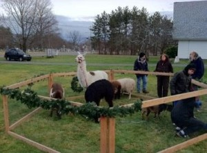 Live animals are featured in the Church of the Nativity's living nativity presentation. (Photo/submitted)