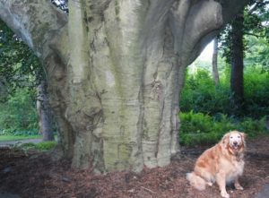 The massive base of Southborough's copper beech tree. Photos/Jane Keller Gordon