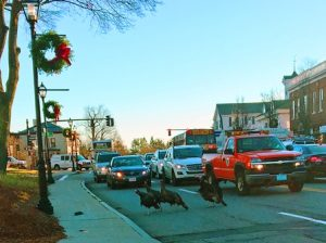 A small flock of turkeys has been causing a lot of horn honking and gobbling as motorists have to deal with this recurring road hazard right in the center of Shrewsbury. Photo/Joyce DeWallace