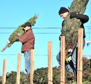 Westborough Civic Club members Brian Falvey and Keith Melvin unload trees from atop the delivery truck early morning Nov. 30, the first day of sales. (Photo/Ed Karvoski Jr.)