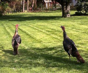 turkeys cr
